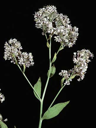 Perennial Pepperweed